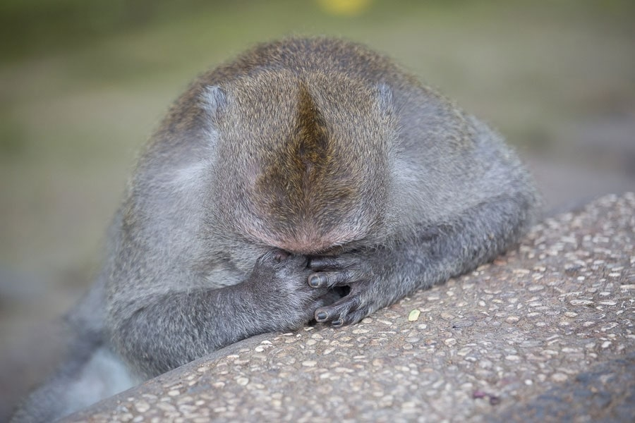 Ubud Monkey Resting