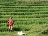 Bali Rice Farmer