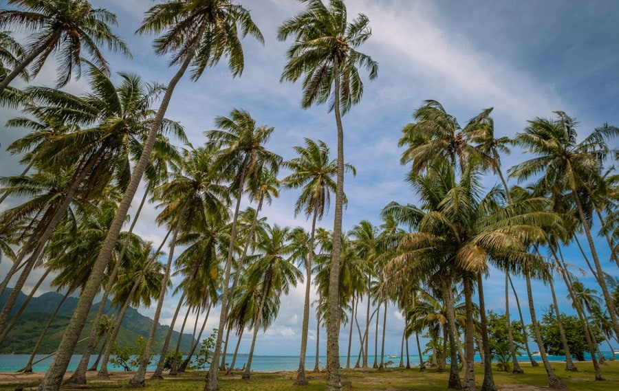 Palm trees in Moorea