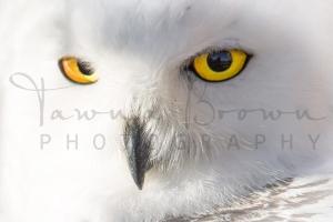 Close-up of Snowy Owl Head