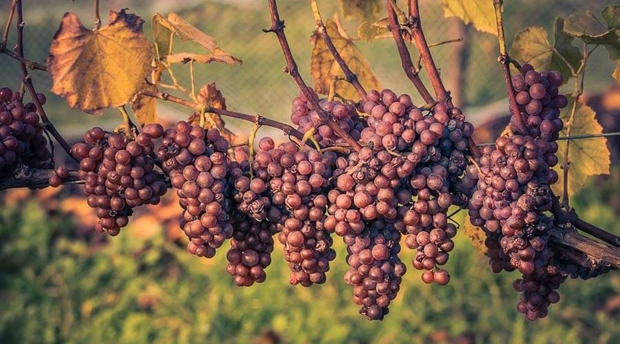 Greywacke Pinot Gris Grapes