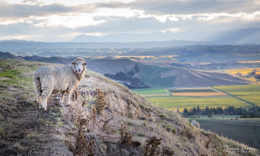 Sheep in Marlborough, New Zealand