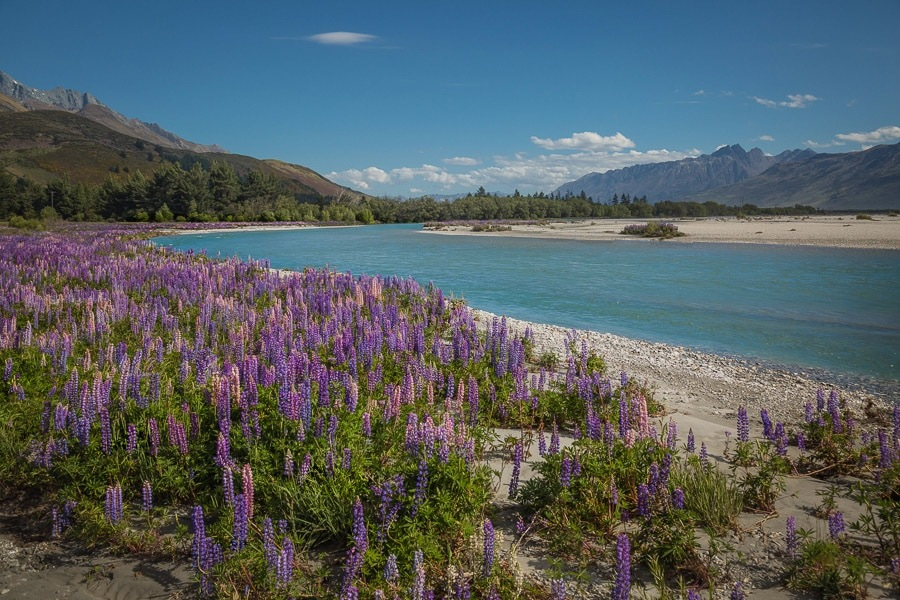 New Zealand Landscape with Lupins