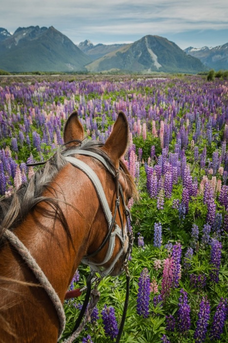 Horse riding through Lupin Patch