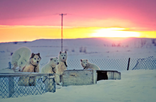 arctic husky dogs in winter